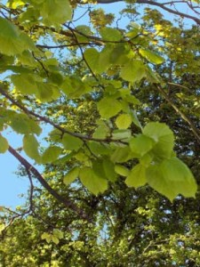 Lindenblätter (Foto: Georges Jansoone, Wikipedia)